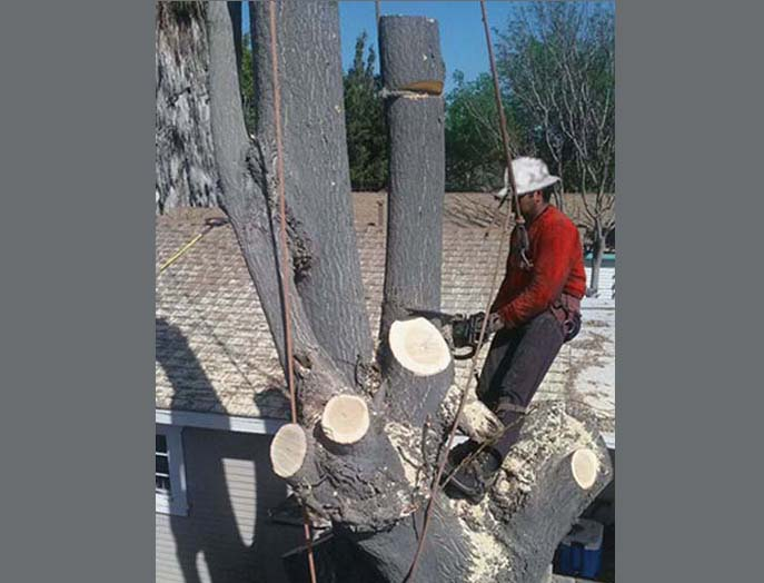 Tree Topping Crown Reduction